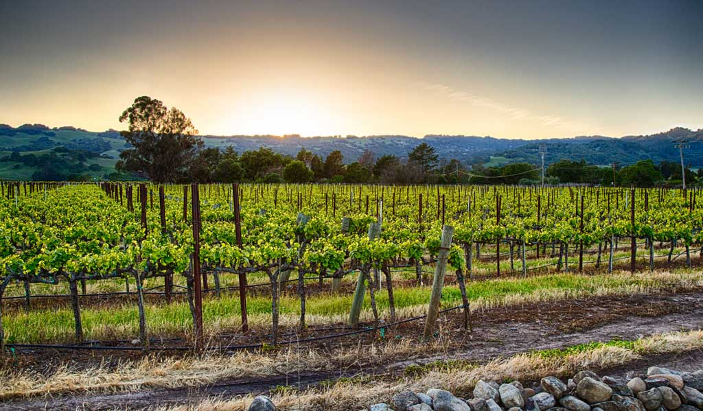 Sunsetting over vineyard in Napa Valley, California
